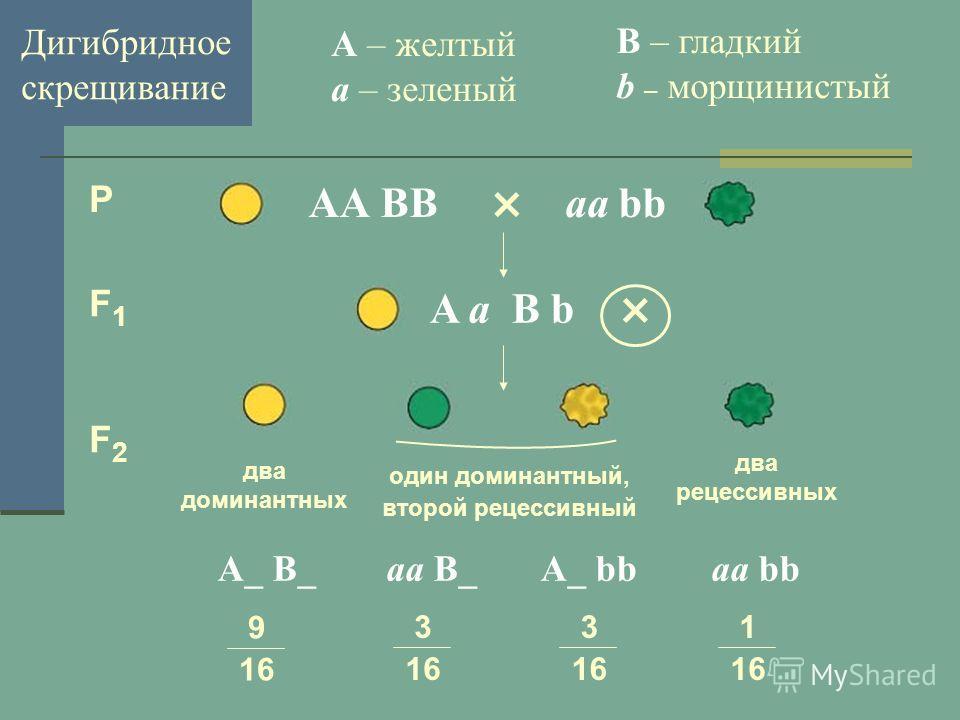 Дигибридное скрещивание × АА BBаа bb A – желтый a – зеленый B – гладкий b – морщинистый P F1F1 F2F2 A а B b × А_ B_ аа B_ A_ bb аа bb 9 16 3 16 3 16 1 16 два доминантных один доминантный, второй рецессивный два рецессивных