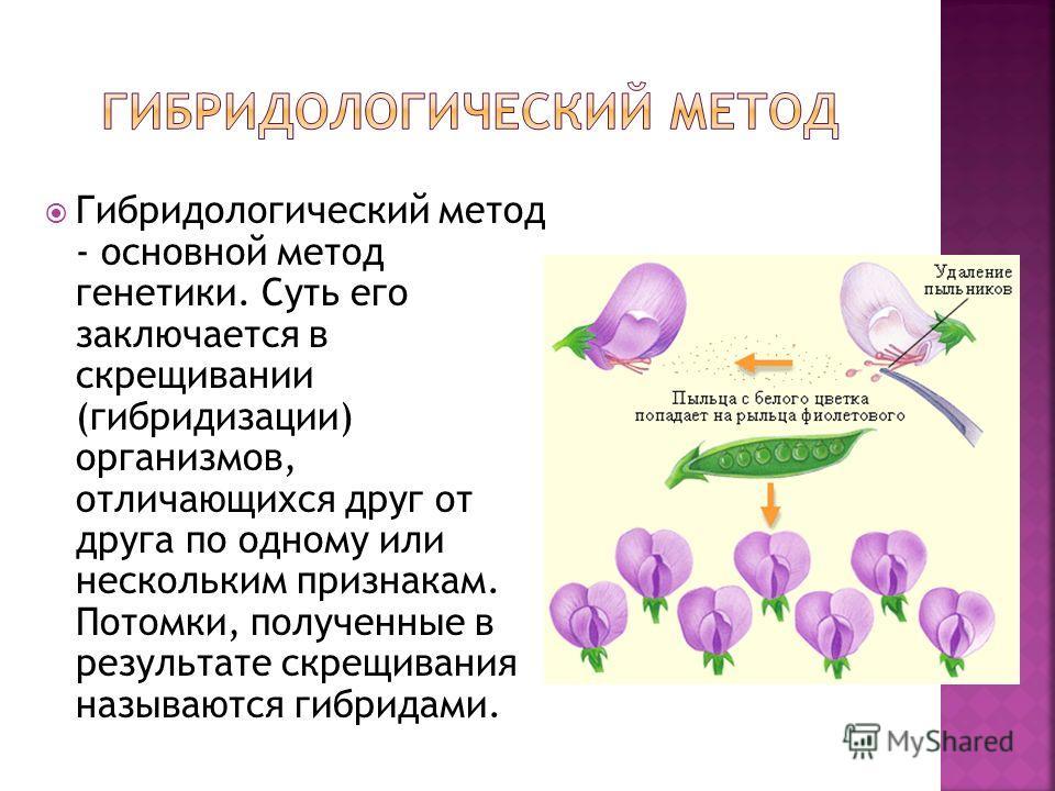 Гибридологический метод - основной метод генетики. Суть его заключается в скрещивании (гибридизации) организмов, отличающихся друг от друга по одному или нескольким признакам. Потомки, полученные в результате скрещивания называются гибридами.