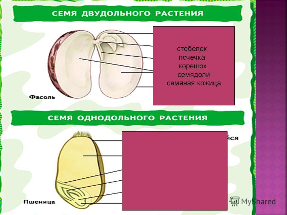 стебелек почечка корешок семядоли семяная кожица