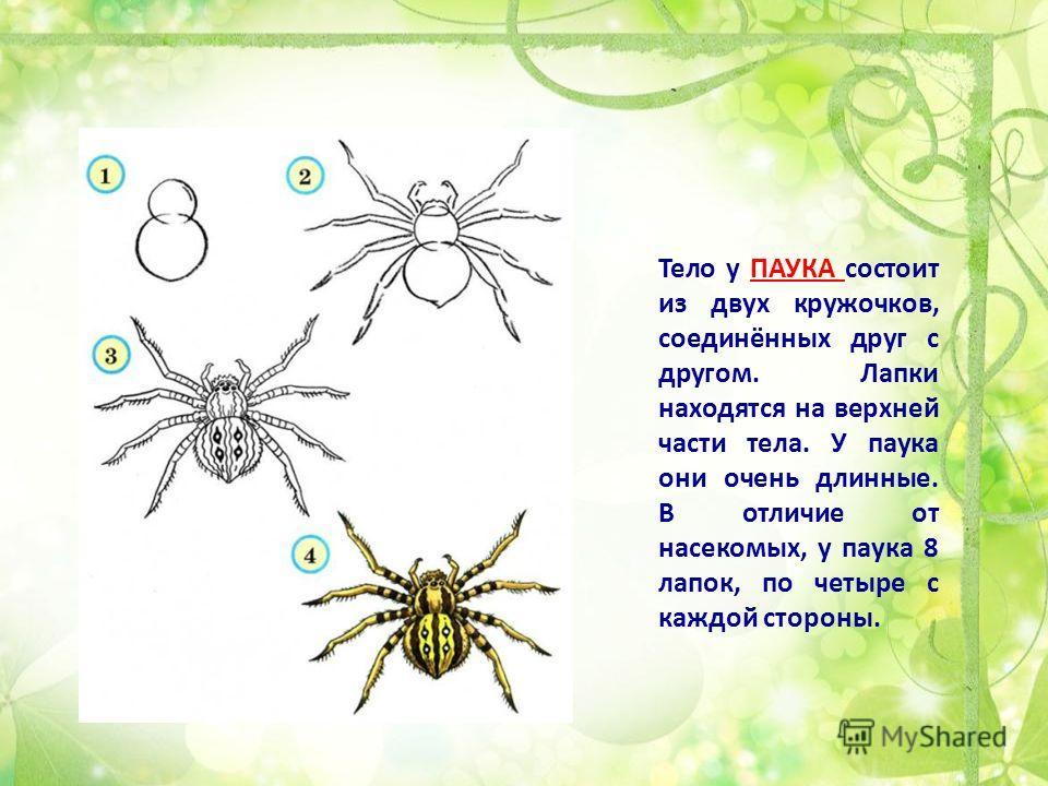 Тело у ПАУКА состоит из двух кружочков, соединённых друг с другом. Лапки находятся на верхней части тела. У паука они очень длинные. В отличие от насекомых, у паука 8 лапок, по четыре с каждой стороны.
