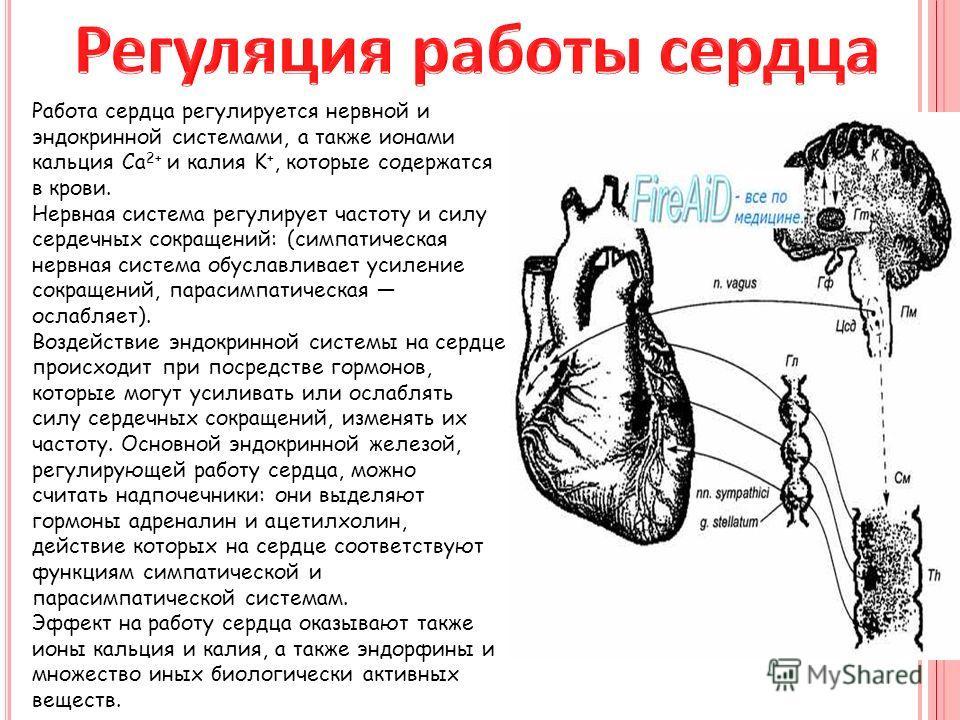 Работа сердца регулируется нервной и эндокринной системами, а также ионами кальция Ca 2+ и калия K +, которые содержатся в крови. Нервная система регулирует частоту и силу сердечных сокращений: (симпатическая нервная система обуславливает усиление со