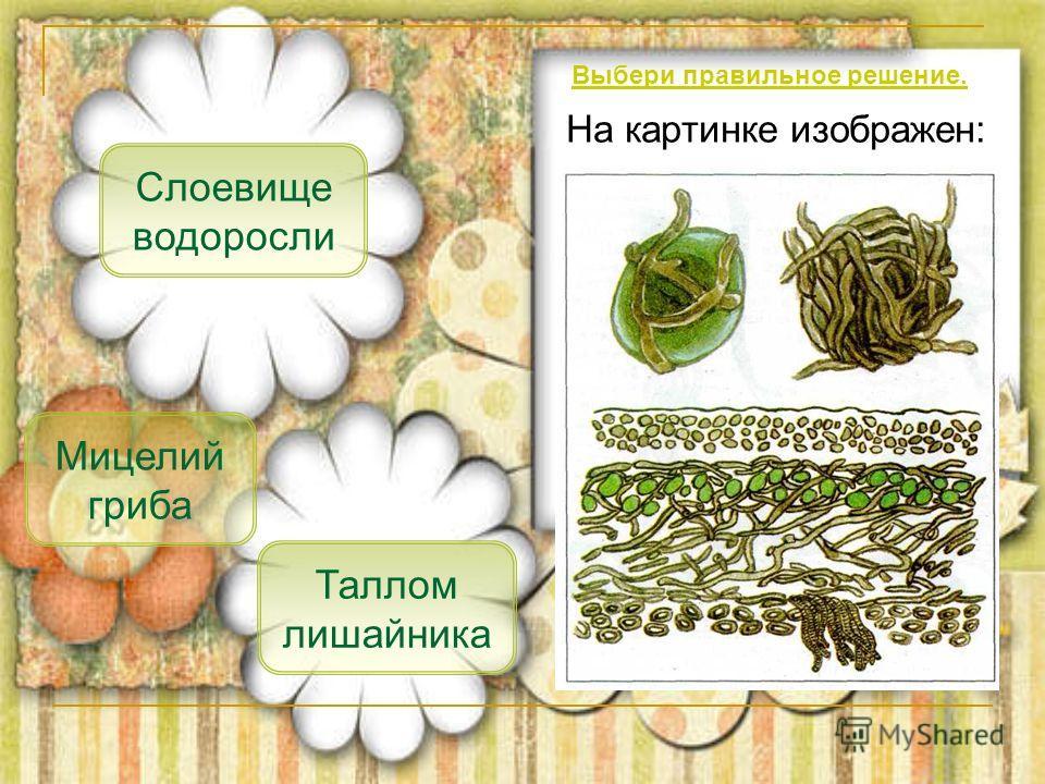 На картинке изображен: Таллом лишайника Мицелий гриба Слоевище водоросли Выбери правильное решение.