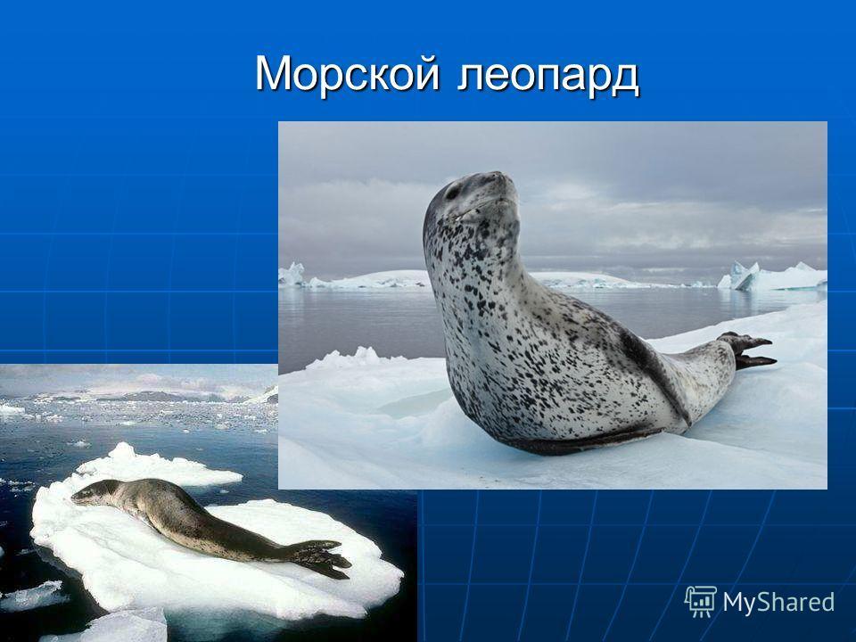 Морской леопард Морской леопард