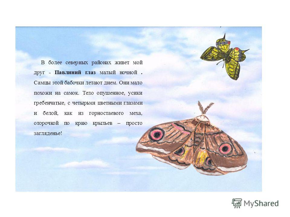 В более северных районах живет мой друг - Павлиний глаз малый ночной. Самцы этой бабочки летают днем. Они мало похожи на самок. Тело опушенное, усики гребенчатые, с четырьмя цветными глазами и белой, как из горностаевого меха, оторочкой по краю крыль