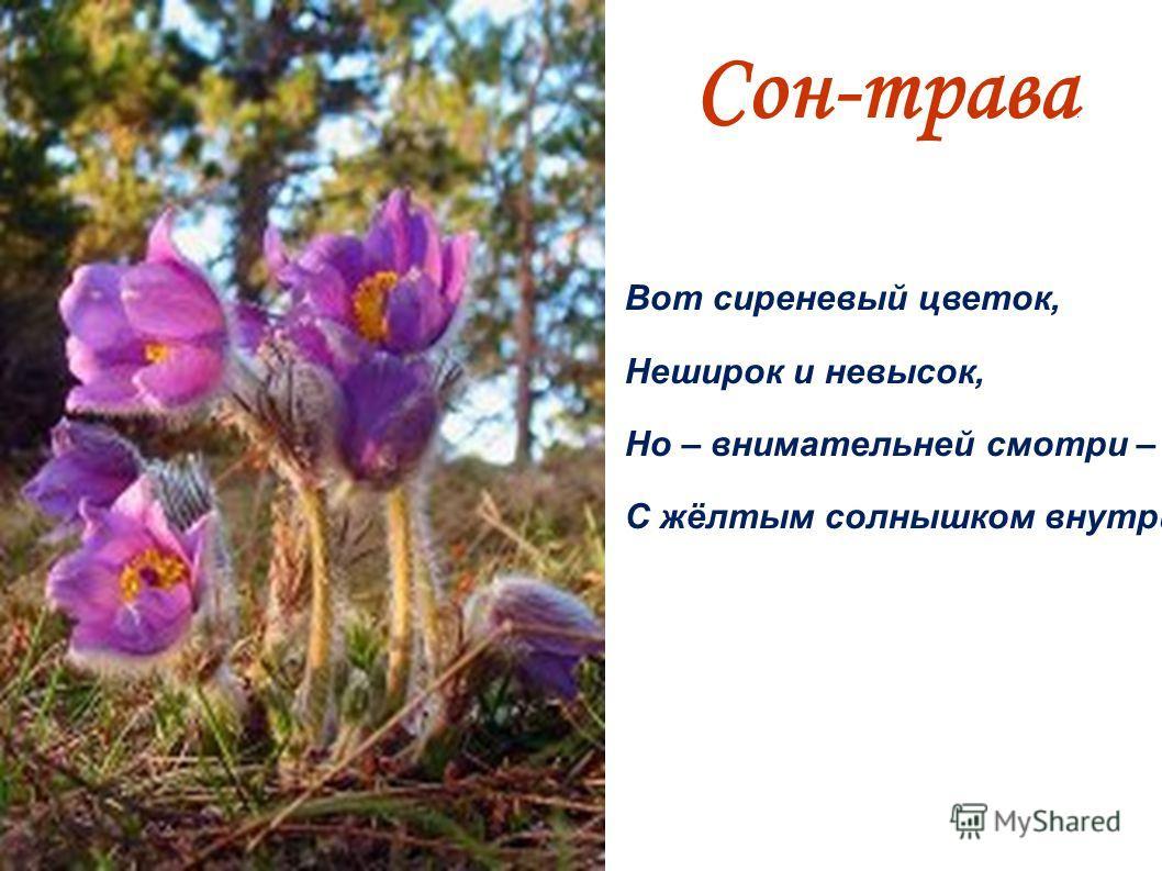 Сон-трава. Вот сиреневый цветок, Неширок и невысок, Но – внимательней смотри – С жёлтым солнышком внутри!