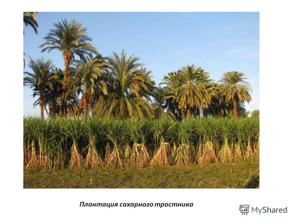 Плантация сахарного тростника