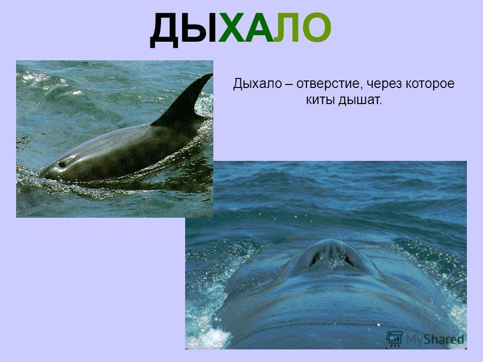 ДЫХАЛО Дыхало – отверстие, через которое киты дышат.