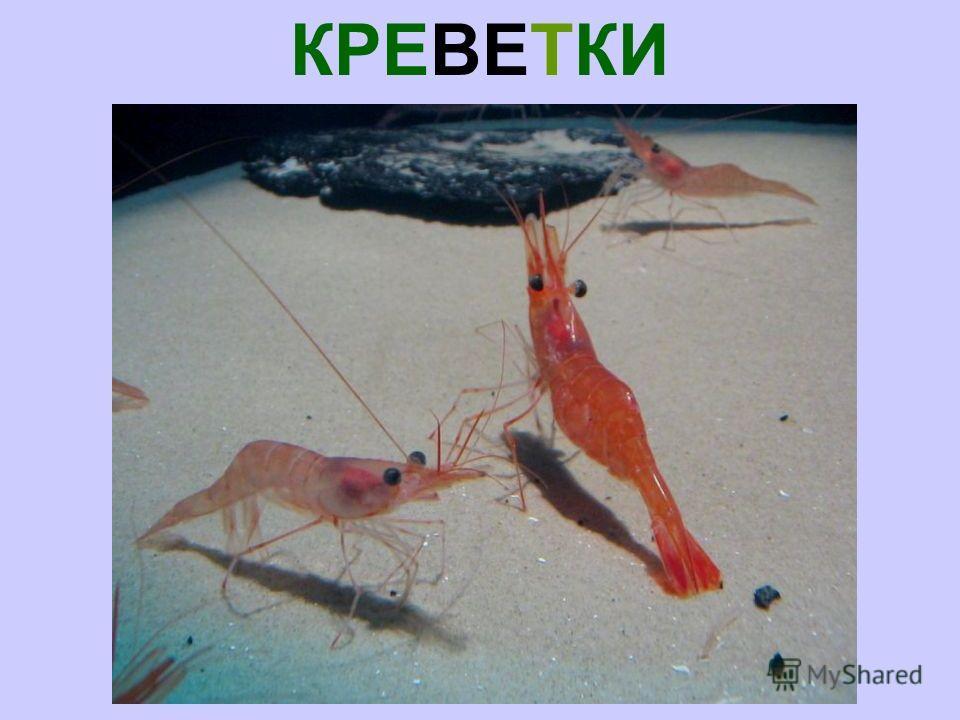КРЕВЕТКИ