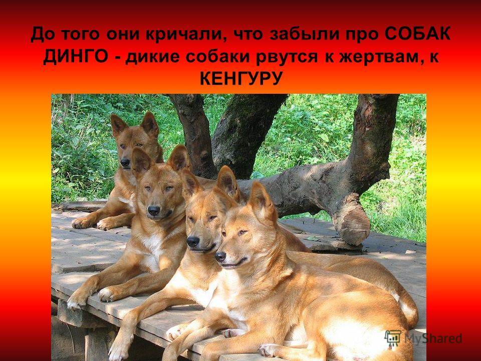 До того они кричали, что забыли про СОБАК ДИНГО - дикие собаки рвутся к жертвам, к КЕНГУРУ
