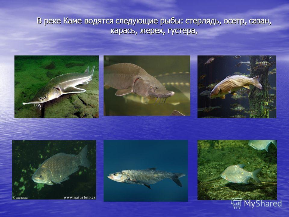 В реке Каме водятся следующие рыбы: стерлядь, осетр, сазан, карась, жерех, густера,