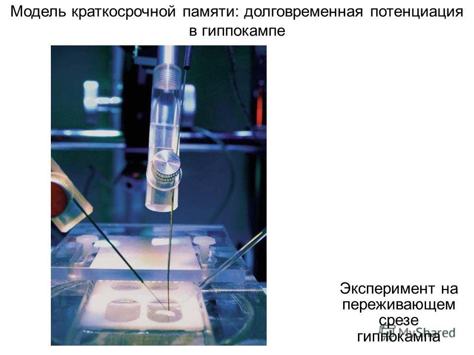 Эксперимент на переживающем срезе гиппокампа Модель краткосрочной памяти: долговременная потенциация в гиппокампе
