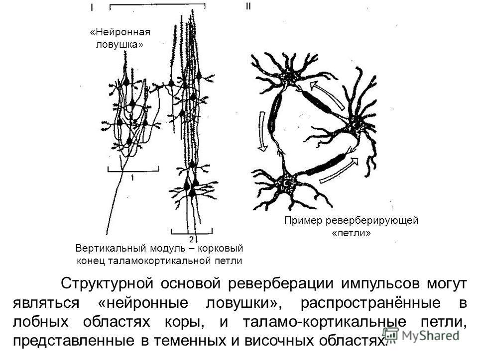«Нейронная ловушка» Вертикальный модуль – корковый конец таламокортикальной петли Пример реверберирующей «петли» Структурной основой реверберации импульсов могут являться «нейронные ловушки», распространённые в лобных областях коры, и таламо-кортикал