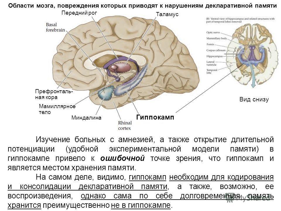 Изучение больных с амнезией, а также открытие длительной потенциации (удобной экспериментальной модели памяти) в гиппокампе привело к ошибочной точке зрения, что гиппокамп и является местом хранения памяти. На самом деле, видимо, гиппокамп необходим