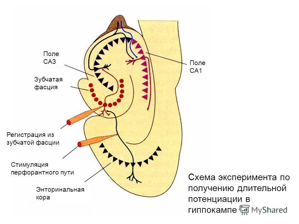 Схема эксперимента по получению длительной потенциации в гиппокампе Поле CA3 Зубчатая фасция Регистрация из зубчатой фасции Стимуляция перфорантного пути Энторинальная кора Поле CA1