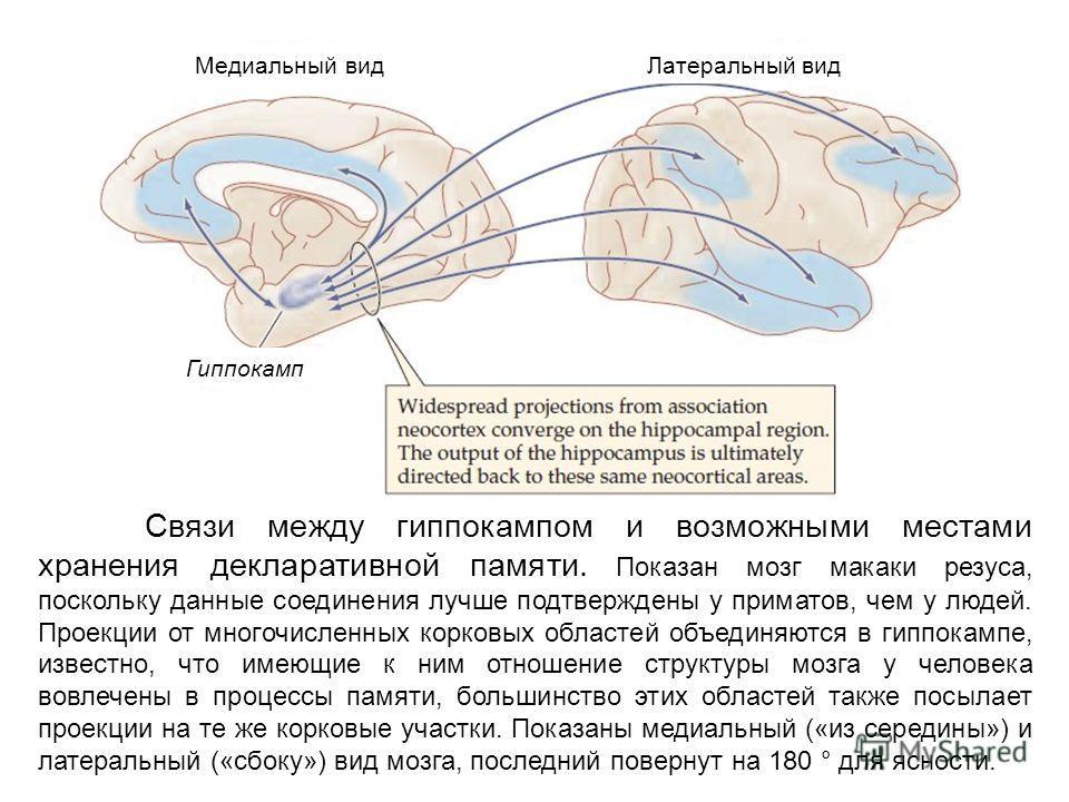 Связи между гиппокампом и возможными местами хранения декларативной памяти. Показан мозг макаки резуса, поскольку данные соединения лучше подтверждены у приматов, чем у людей. Проекции от многочисленных корковых областей объединяются в гиппокампе, из