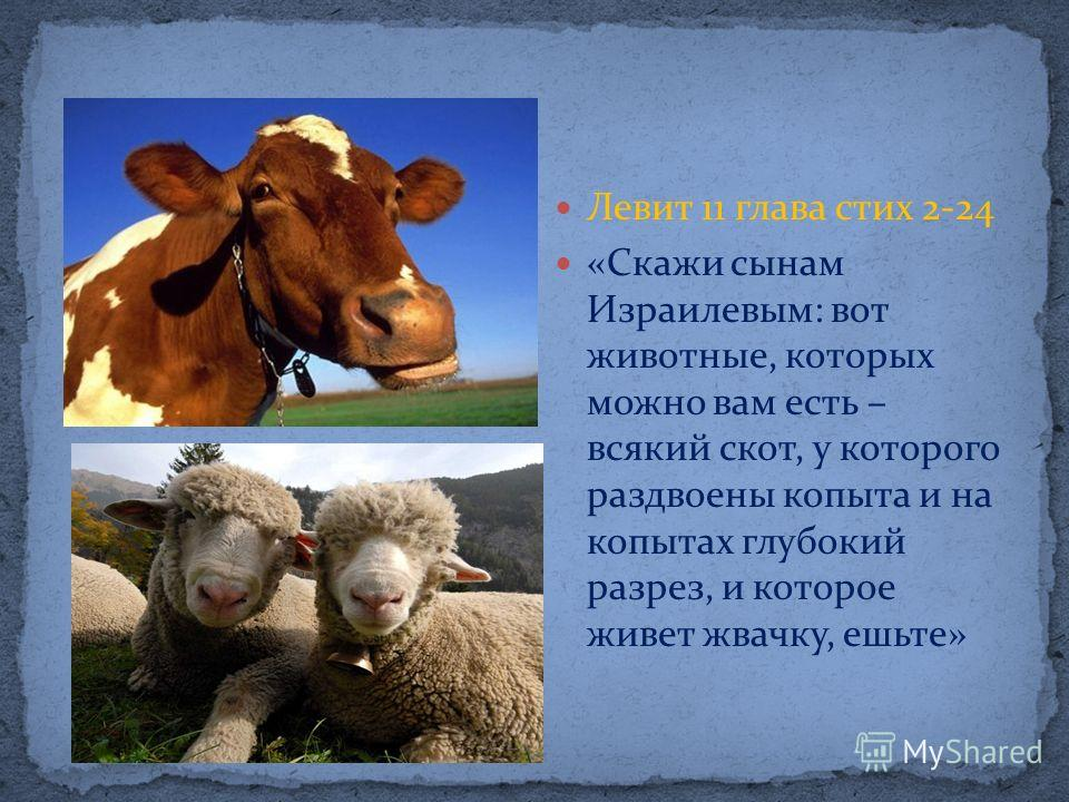 Левит 11 глава стих 2-24 «Скажи сынам Израилевым: вот животные, которых можно вам есть – всякий скот, у которого раздвоены копыта и на копытах глубокий разрез, и которое живет жвачку, ешьте»
