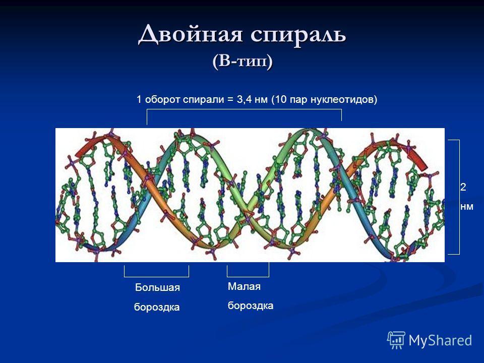 Двойная спираль (В-тип) Большая бороздка Малая бороздка 1 оборот спирали = 3,4 нм (10 пар нуклеотидов) 2 нм