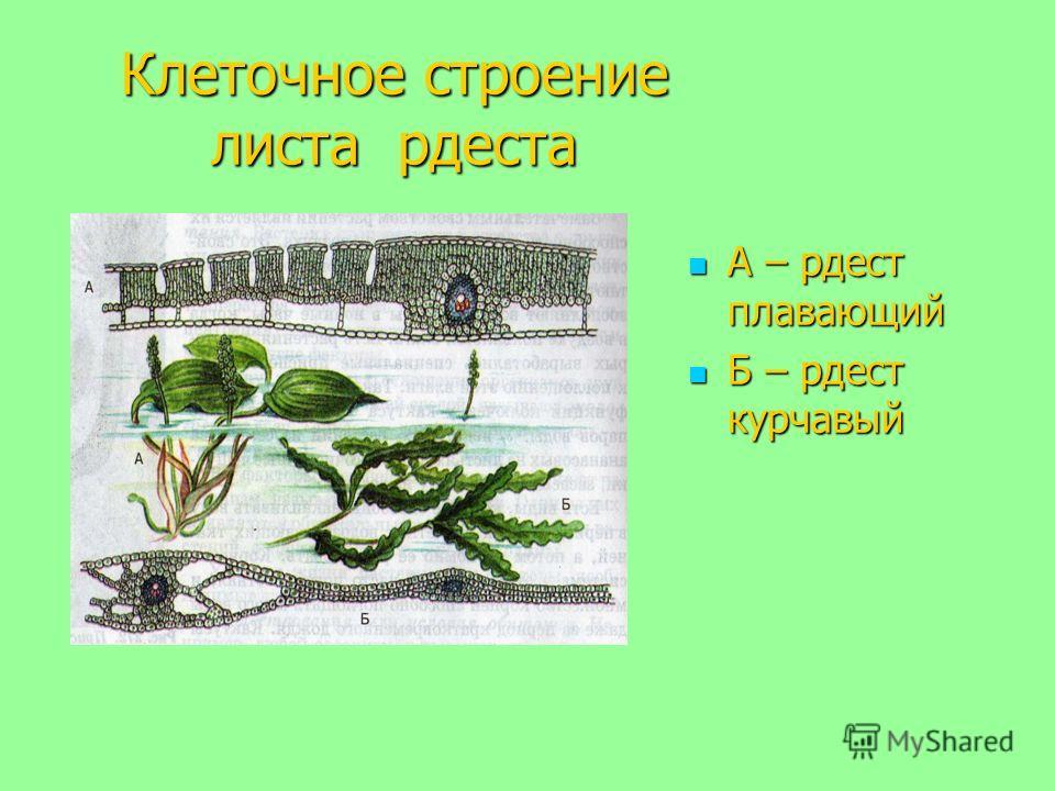 Клеточное строение листа рдеста А – рдест плавающий А – рдест плавающий Б – рдест курчавый Б – рдест курчавый