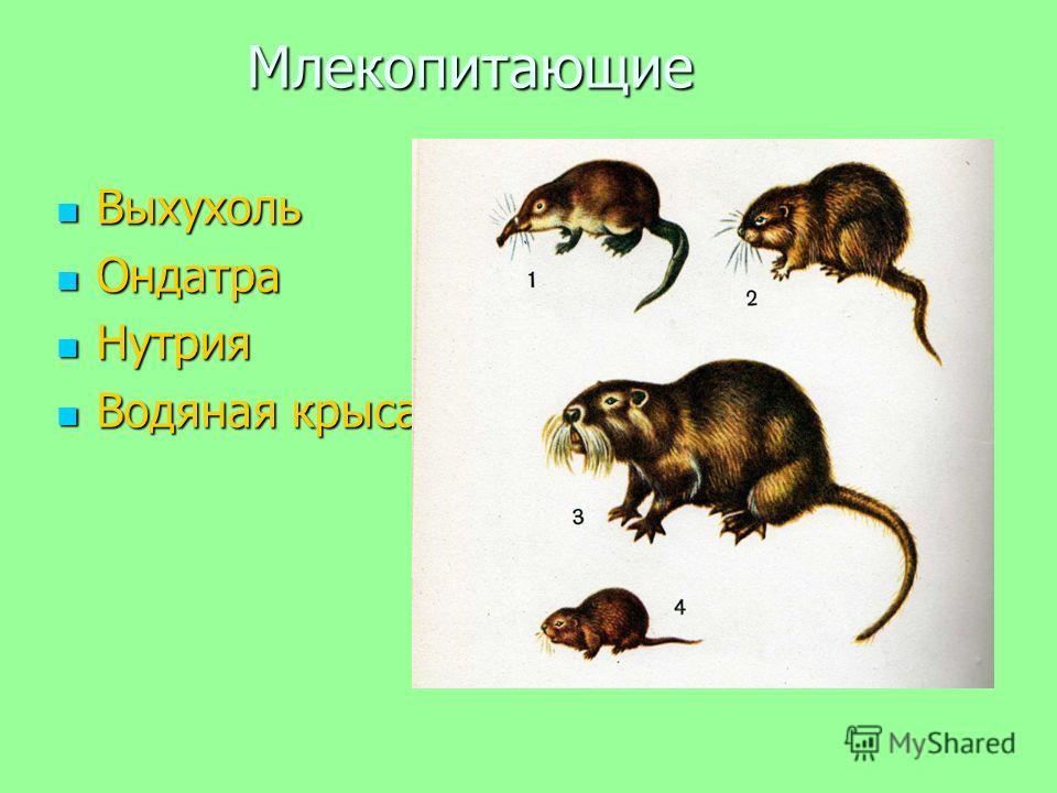 Млекопитающие Выхухоль Выхухоль Ондатра Ондатра Нутрия Нутрия Водяная крыса Водяная крыса