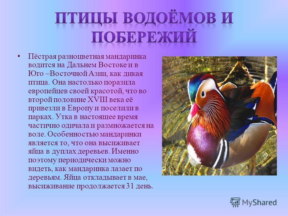 Пёстрая разноцветная мандаринка водится на Дальнем Востоке и в Юго –Восточной Азии, как дикая птица. Она настолько поразила европейцев своей красотой, что во второй половине XVIII века её привезли в Европу и поселили в парках. Утка в настоящее время