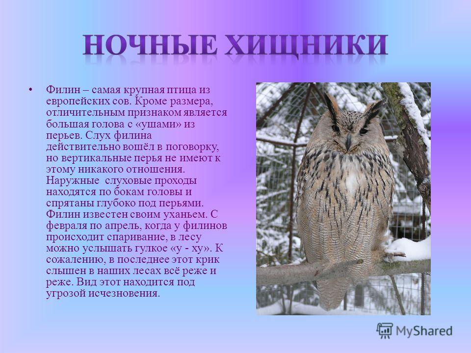 Филин – самая крупная птица из европейских сов. Кроме размера, отличительным признаком является большая голова с «ушами» из перьев. Слух филина действительно вошёл в поговорку, но вертикальные перья не имеют к этому никакого отношения. Наружные слухо