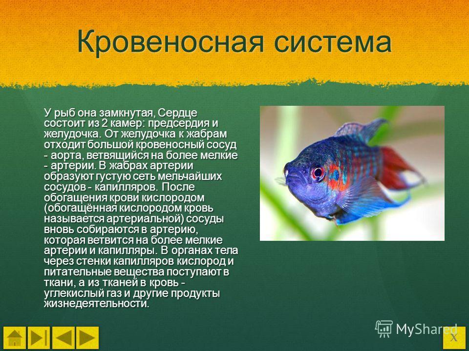 картинки кровеносная система у рыб