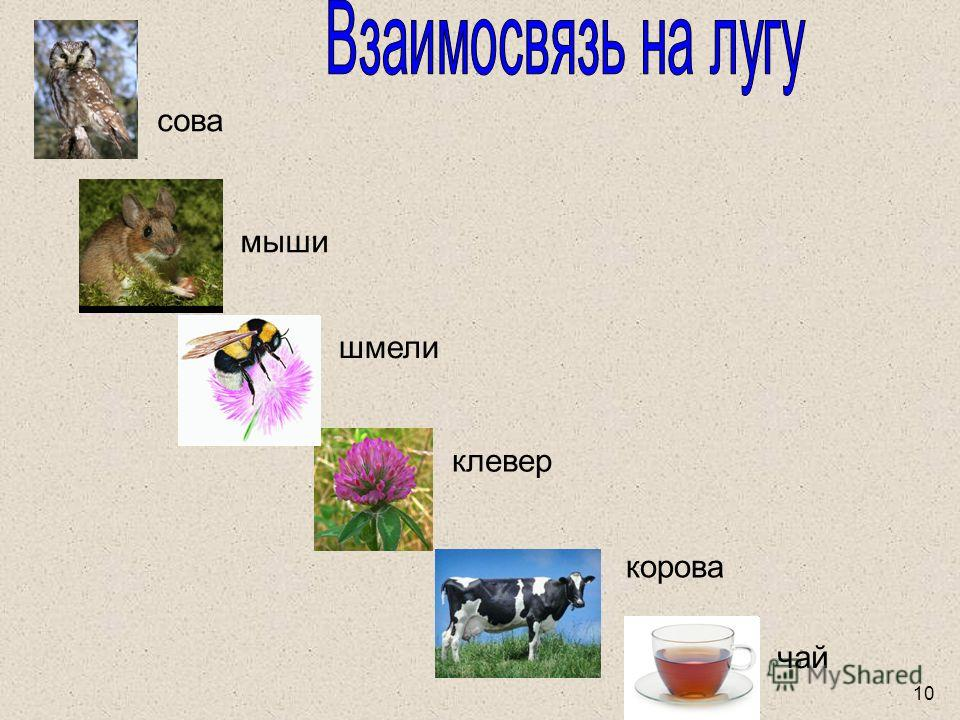 сова мыши шмели клевер корова чай 10