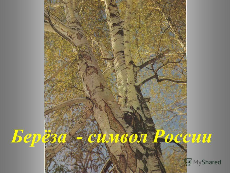 Берёза - символ России