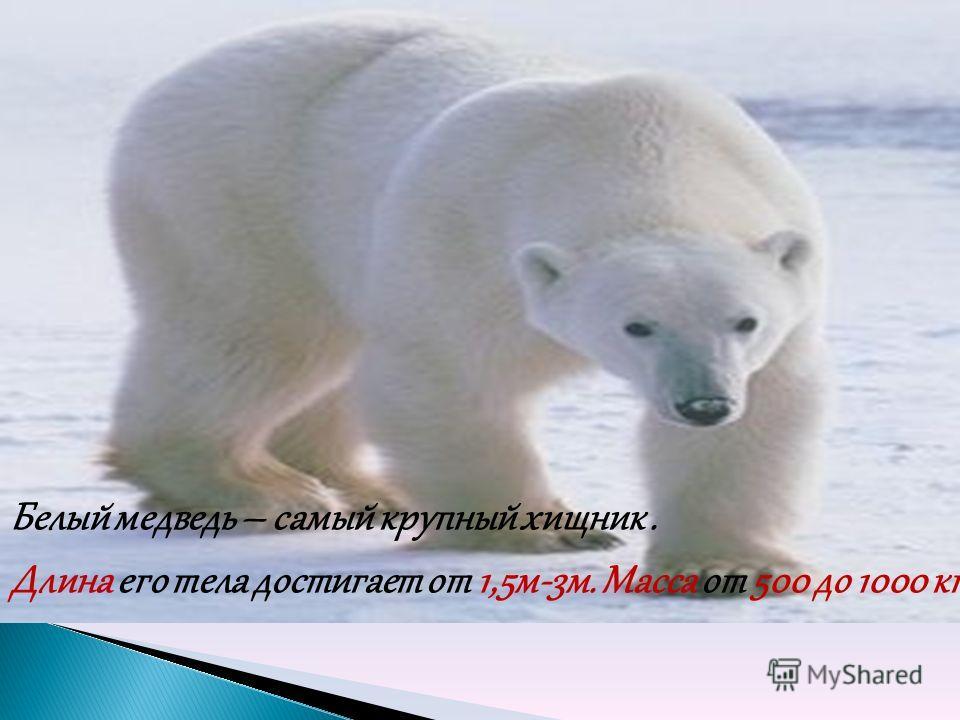 Белый медведь – самый крупный хищник. Длина его тела достигает от 1,5м-3м. Масса от 500 до 1000 кг