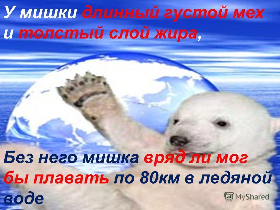 У мишки длинный густой мех и толстый слой жира, Без него мишка вряд ли мог бы плавать по 80км в ледяной воде