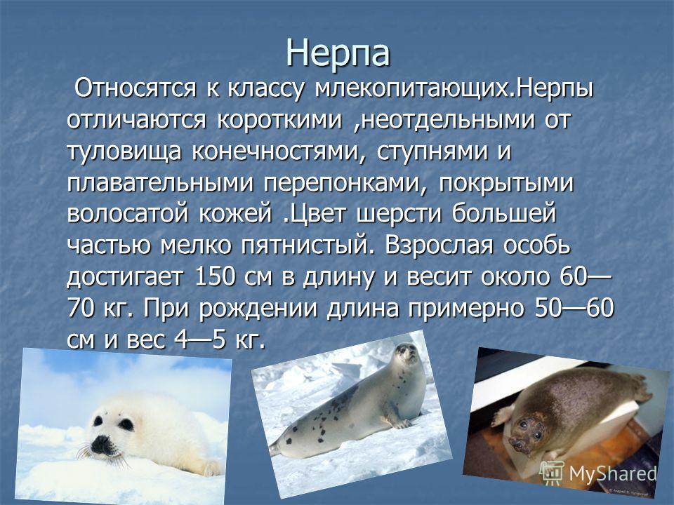 Нерпа Относятся к классу млекопитающих.Нерпы отличаются короткими,неотдельными от туловища конечностями, ступнями и плавательными перепонками, покрытыми волосатой кожей.Цвет шерсти большей частью мелко пятнистый. Взрослая особь достигает 150 см в дли