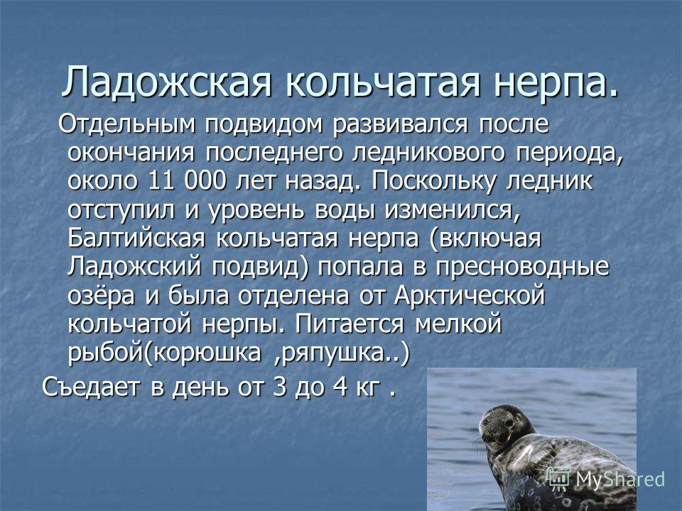 Ладожская кольчатая нерпа. Отдельным подвидом развивался после окончания последнего ледникового периода, около 11 000 лет назад. Поскольку ледник отступил и уровень воды изменился, Балтийская кольчатая нерпа (включая Ладожский подвид) попала в пресно