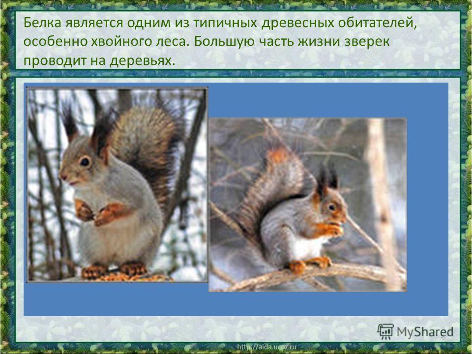 Белка является одним из типичных древесных обитателей, особенно хвойного леса. Большую часть жизни зверек проводит на деревьях. 3