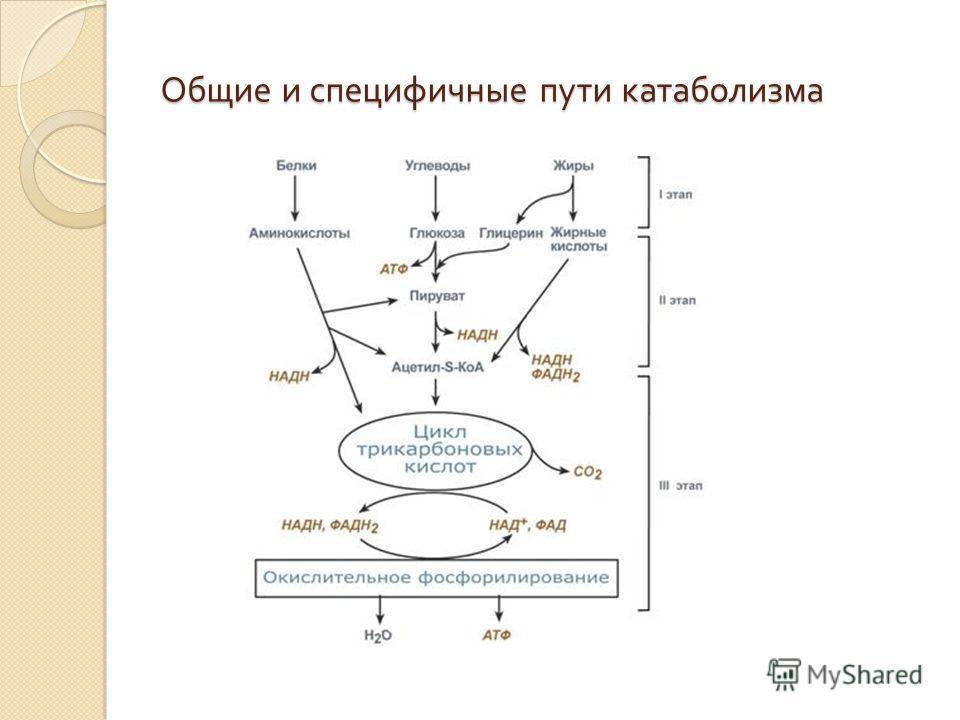 Общие и специфичные пути катаболизма