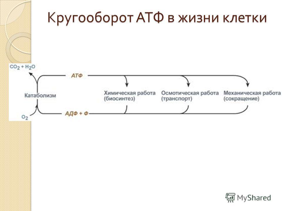 Кругооборот АТФ в жизни клетки