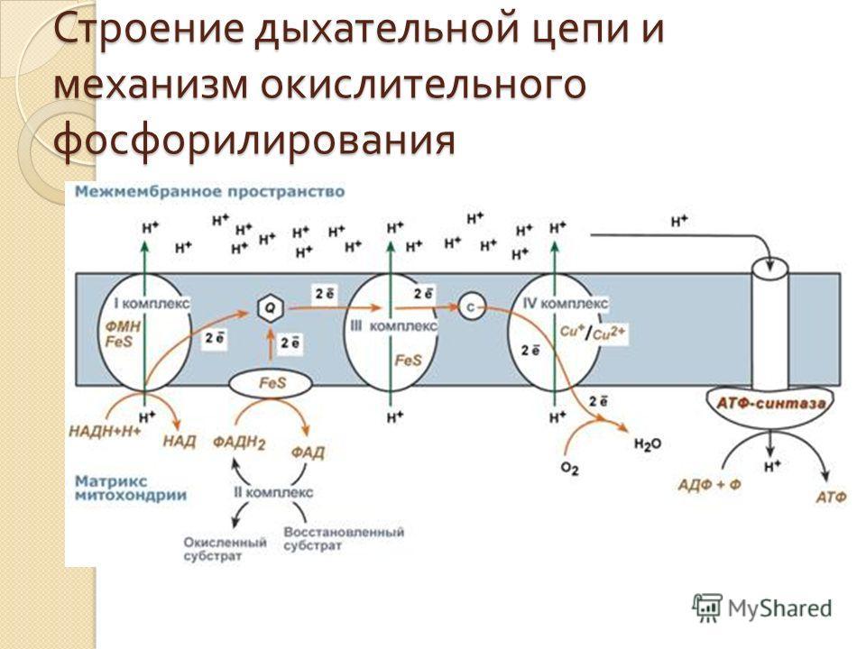 Строение дыхательной цепи и механизм окислительного фосфорилирования
