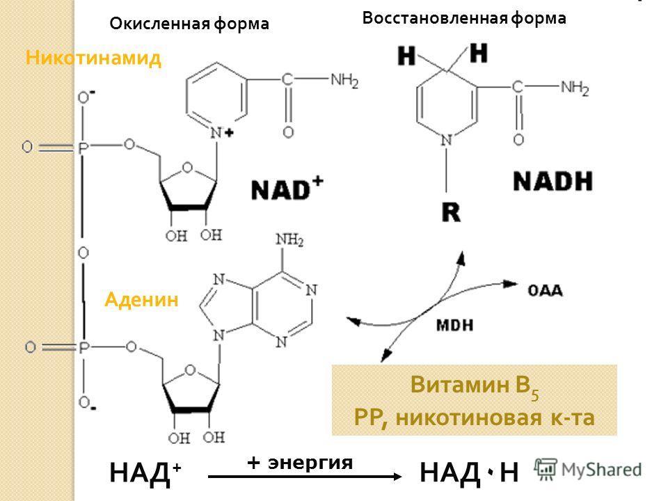 НАД + НАД ٠ Н Никотинамид Аденин Окисленная форма Восстановленная форма + энергия Витамин В 5 РР, никотиновая к-та