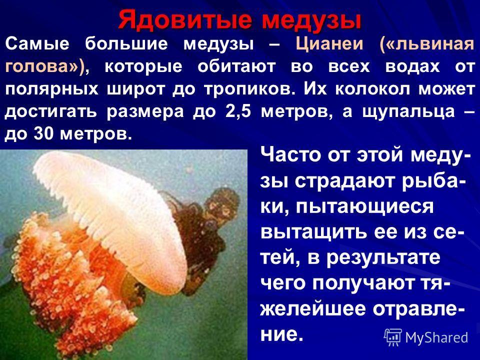 Ядовитые медузы Самые большие медузы – Цианеи («львиная голова»), которые обитают во всех водах от полярных широт до тропиков. Их колокол может достигать размера до 2,5 метров, а щупальца – до 30 метров. Часто от этой меду- зы страдают рыба- ки, пыта