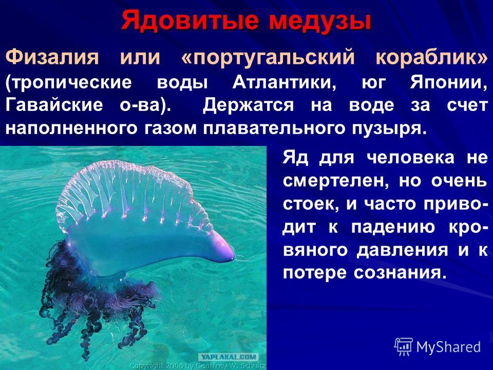 Ядовитые медузы Физалия или «португальский кораблик» (тропические воды Атлантики, юг Японии, Гавайские о-ва). Держатся на воде за счет наполненного газом плавательного пузыря. Яд для человека не смертелен, но очень стоек, и часто приво- дит к падению