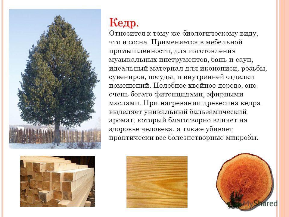 Кедр. Относится к тому же биологическому виду, что и сосна. Применяется в мебельной промышленности, для изготовления музыкальных инструментов, бань и саун, идеальный материал для иконописи, резьбы, сувениров, посуды, и внутренней отделки помещений. Ц
