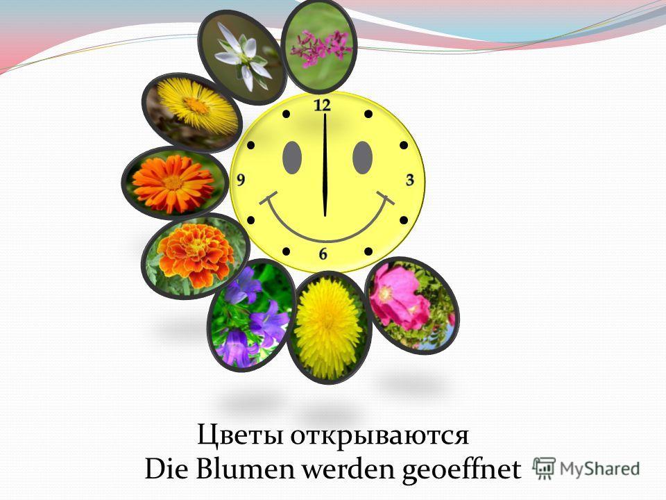 Цветы открываются Die Blumen werden geoeffnet