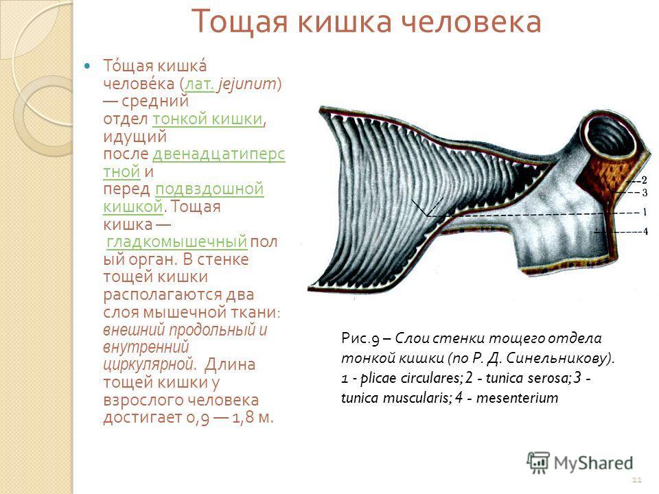 Тощая кишка человека Тощая кишка человека ( лат. jejunum) средний отдел тонкой кишки, идущий после двенадцатиперс тной и перед подвздошной кишкой. Тощая кишка гладкомышечный пол ый орган. В стенке тощей кишки располагаются два слоя мышечной ткани : в