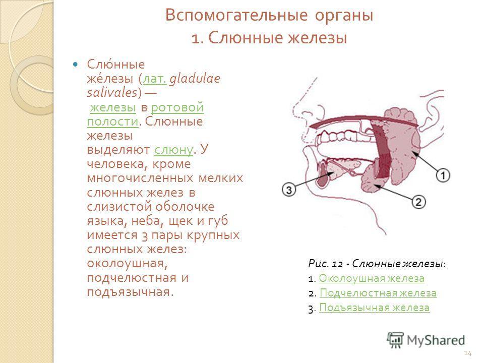 Вспомогательные органы 1. Слюнные железы Слюнные железы ( лат. gladulae salivales) железы в ротовой полости. Слюнные железы выделяют слюну. У человека, кроме многочисленных мелких слюнных желез в слизистой оболочке языка, неба, щек и губ имеется 3 па