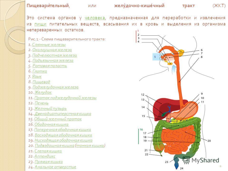 Пищеварительный, или желудочно - кишечный тракт ( ЖКТ ) Это система органов у человека, предназначенная для переработки и извлечения из пищи питательных веществ, всасывания их в кровь и выделения из организма непереваренных остатков. человека пищи Ри