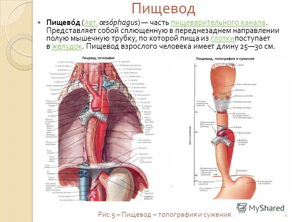 Пищевод Пищевод ( лат. œsóphagus) часть пищеварительного канала. Представляет собой сплющенную в переднезаднем направлении полую мышечную трубку, по которой пища из глоткипоступает в желудок. Пищевод взрослого человека имеет длину 2530 см. лат. пищев