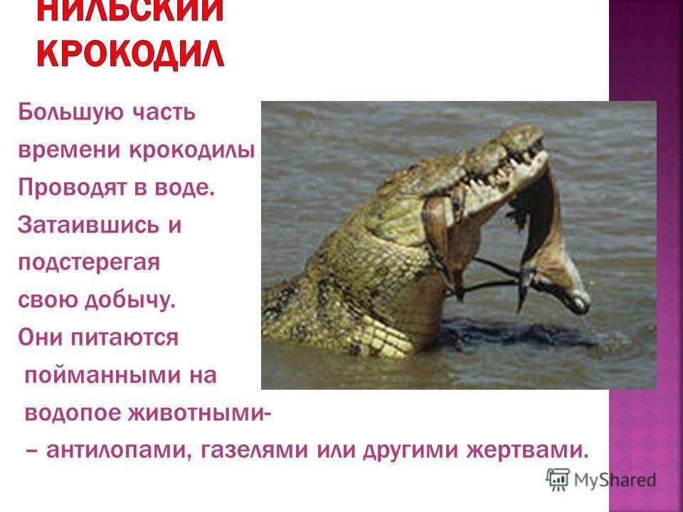 Большую часть времени крокодилы Проводят в воде. Затаившись и подстерегая свою добычу. Они питаются пойманными на водопое животными- – антилопами, газелями или другими жертвами.
