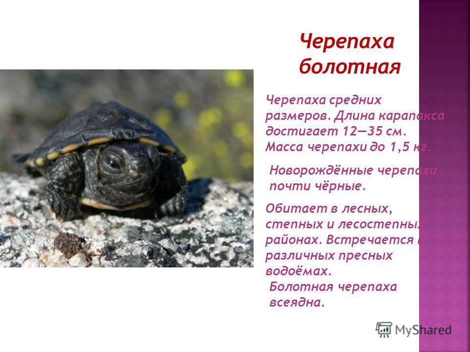 Черепаха болотная Черепаха средних размеров. Длина карапакса достигает 1235 см. Масса черепахи до 1,5 кг. Обитает в лесных, степных и лесостепных районах. Встречается в различных пресных водоёмах. Новорождённые черепахи почти чёрные. Болотная черепах
