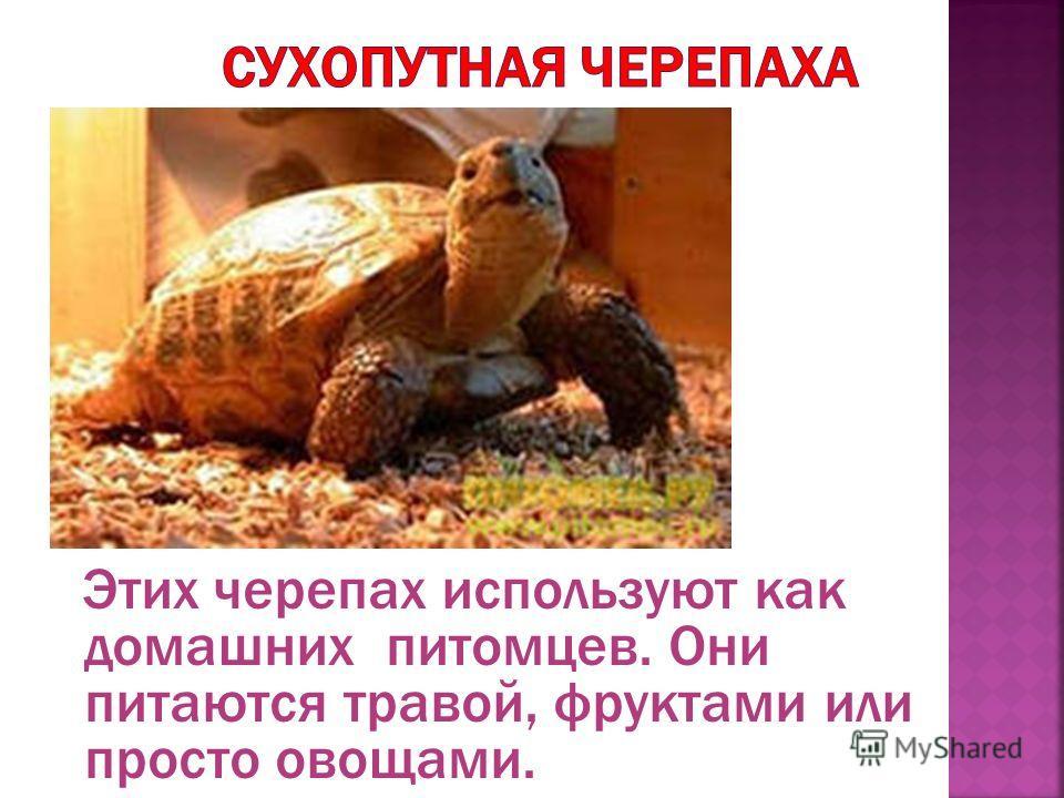 Этих черепах используют как домашних питомцев. Они питаются травой, фруктами или просто овощами.