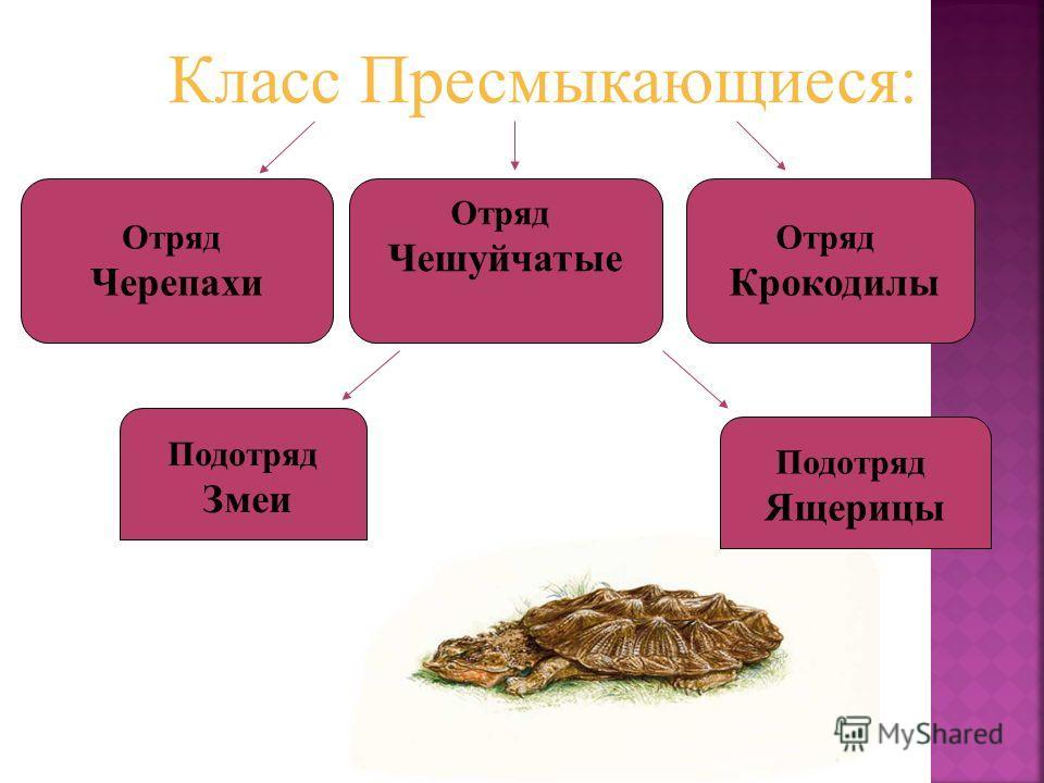 Отряд Чешуйчатые Отряд Крокодилы Отряд Черепахи Подотряд Ящерицы Подотряд Змеи Класс Пресмыкающиеся:
