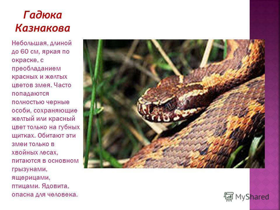 Гадюка Казнакова Небольшая, длиной до 60 см, яркая по окраске, с преобладанием красных и желтых цветов змея. Часто попадаются полностью черные особи, сохраняющие желтый или красный цвет только на губных щитках. Обитают эти змеи только в хвойных лесах